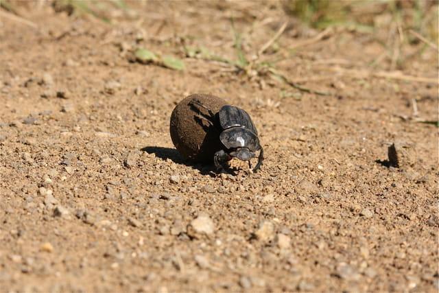 Cape Vidal, Flightless Dung Beetle ou bousier, ce sont des insectes cole?opte?res coprophages