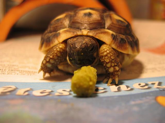 Caroline, la tortue