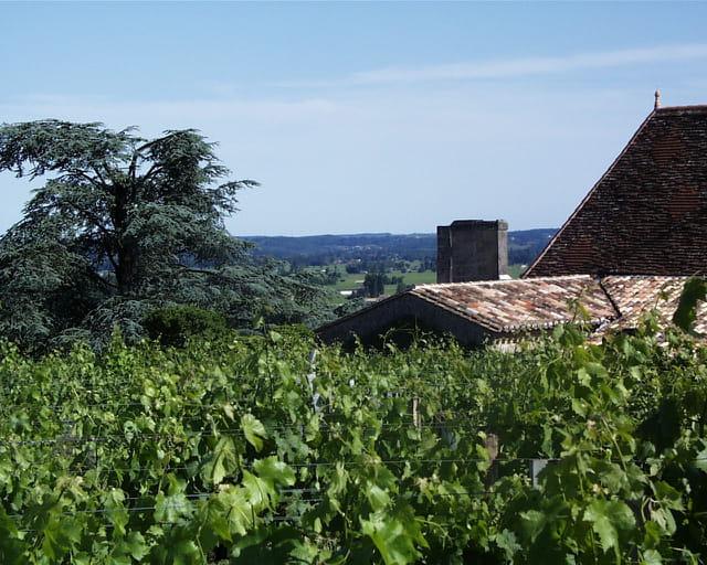 Cèdre bleu à Saint-Emilion