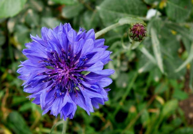 Centaurée barbeau double bleue