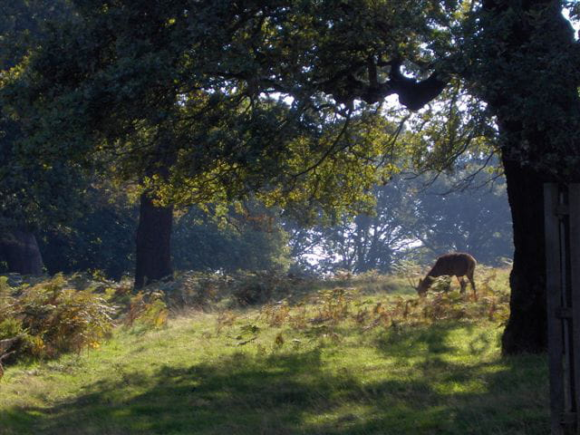 Cerf dans parc anglais