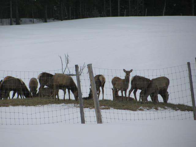 Cerfs de Virginie