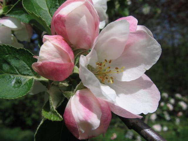 Cerisier blanc et pommier rose !