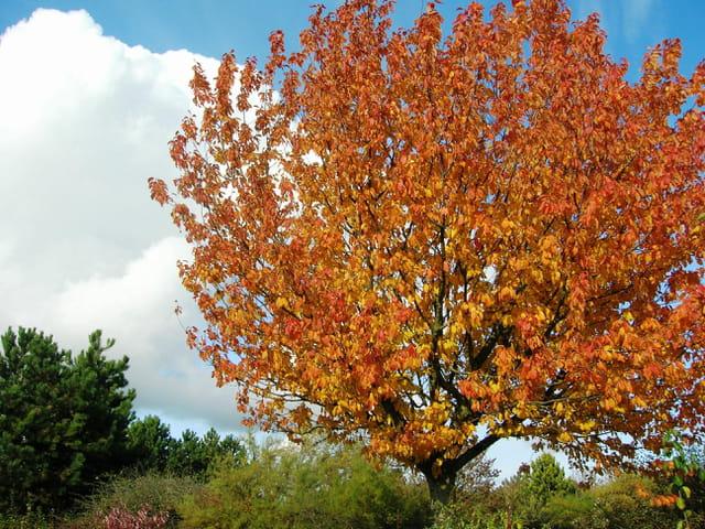 Cerisier d'automne