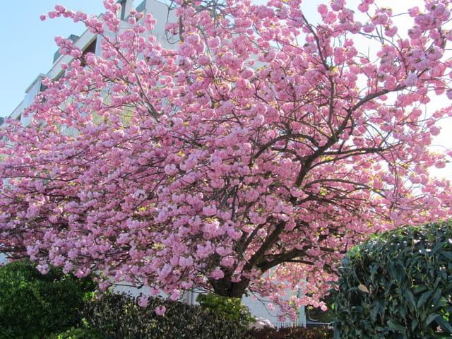 Cerisier du japon arbre rose par rita vogels sur l 39 internaute - Arbre du japon ...