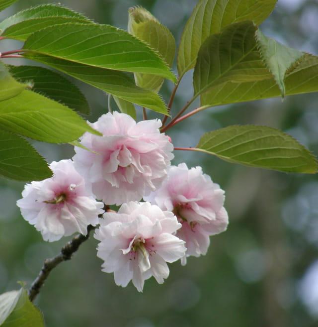 Cerisier du Japon, fleurs
