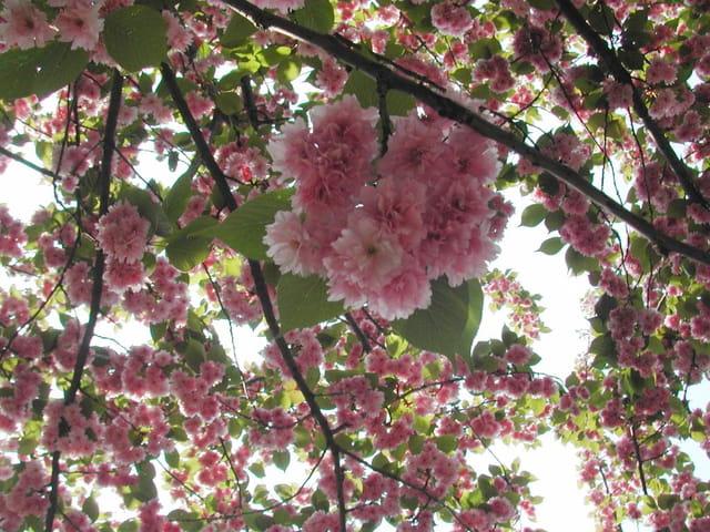 cerisier du japon fleurs rit v par rita vogels sur l 39 internaute. Black Bedroom Furniture Sets. Home Design Ideas