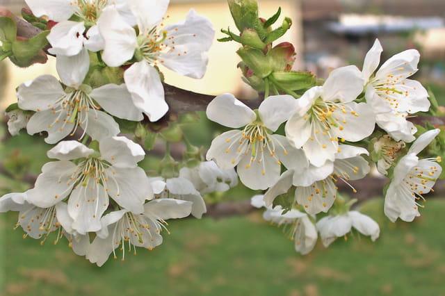 Cerisier en fleurs, fleurs de cerisier