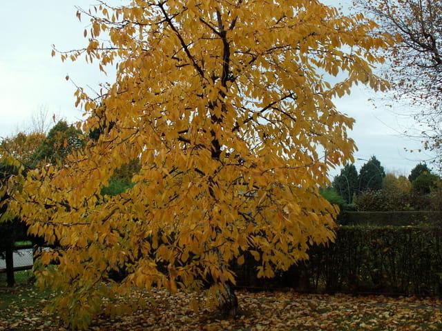 Cerisier 'jaune'