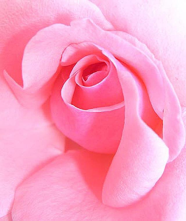 Chair de rose...
