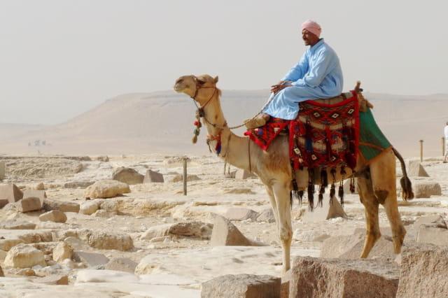 Chamelier au repos aux pyramides de Guizeh