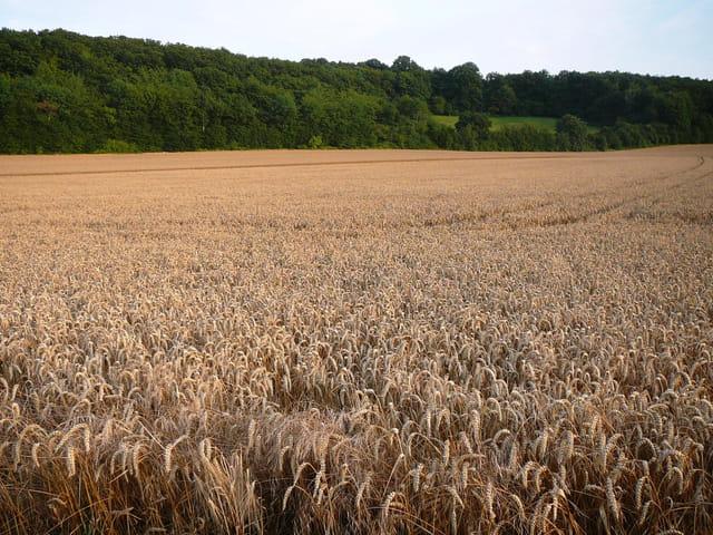 Champ de blé un soir d'été
