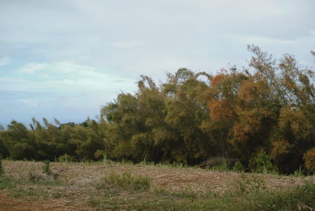 Champ de canne à sucre et bambous