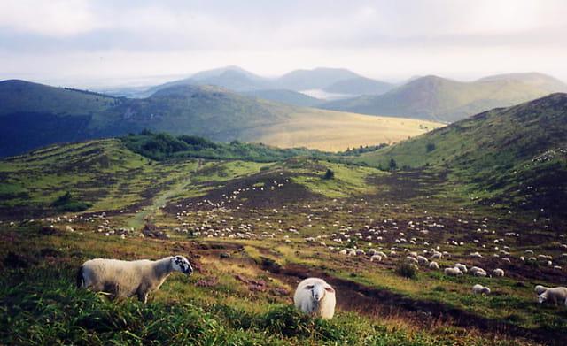 Champ de moutons