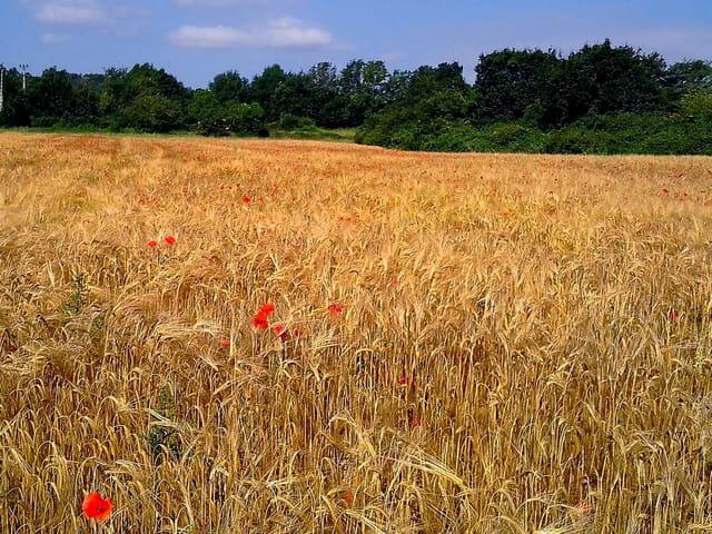 Champs de blé  et coquelicots (1)