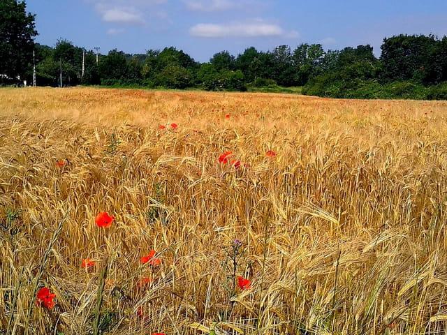 Champs de blé  et coquelicots (2)