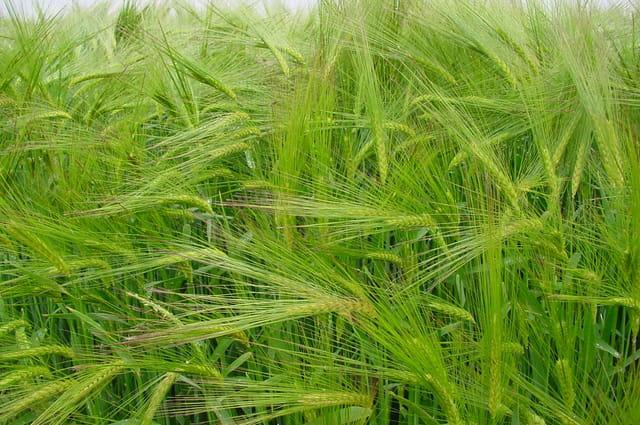 Champs de blés verts