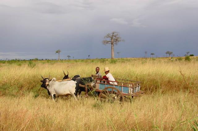 Charette à zébu dans le sud malgache