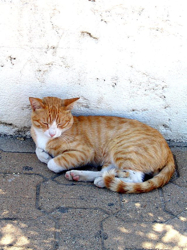 Chat corse