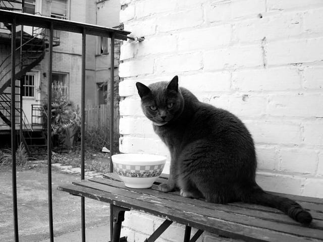 Chat de la rue blanc sur noir