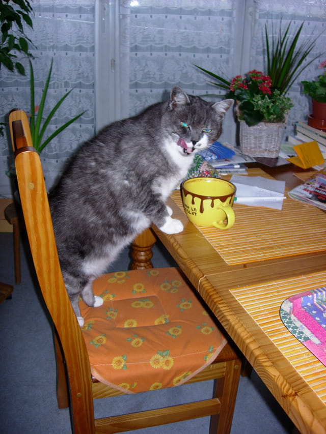 Chat gourmand