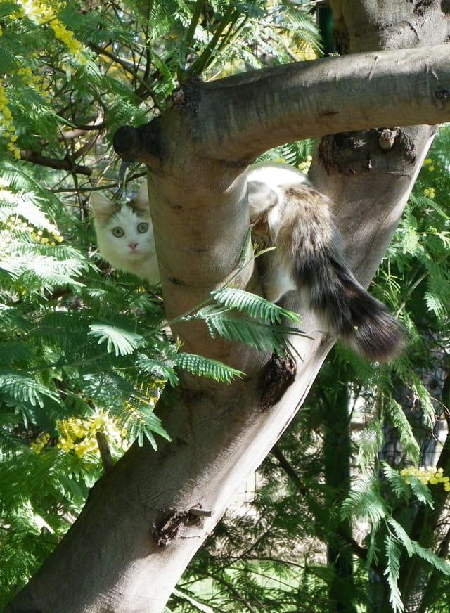 Chat mimosa