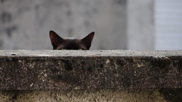 chat qui observe
