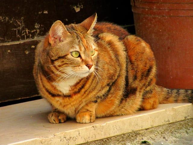 Chat- tigre