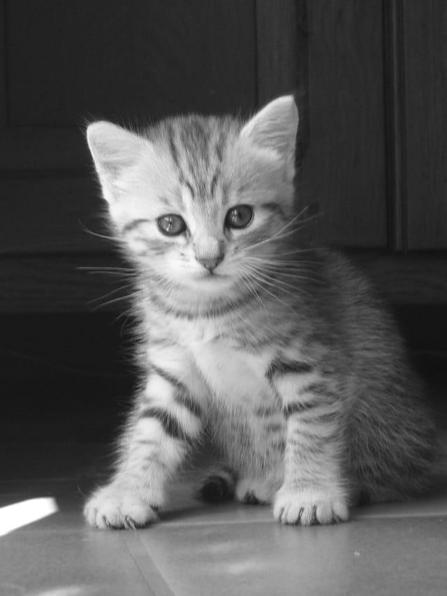Chaton en noir et blanc