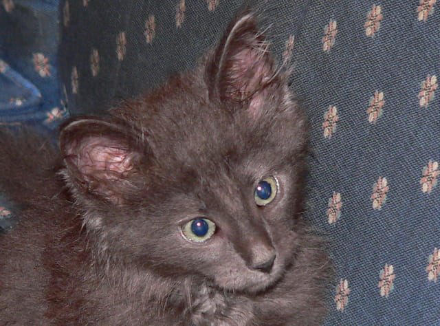 Chaton norvégien bleu