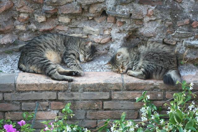Chats romains