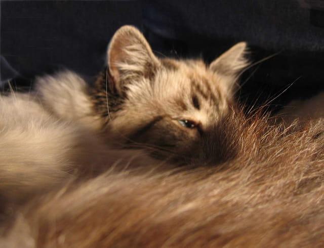 Chatte en sommeil