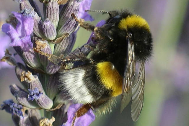 """chef"" des abeilles"