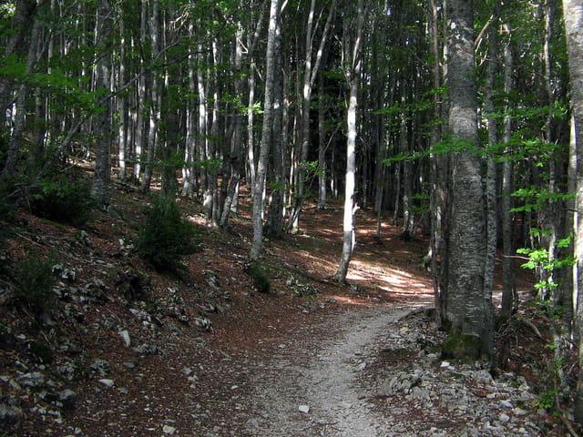 Chemin dans un bois de hêtres