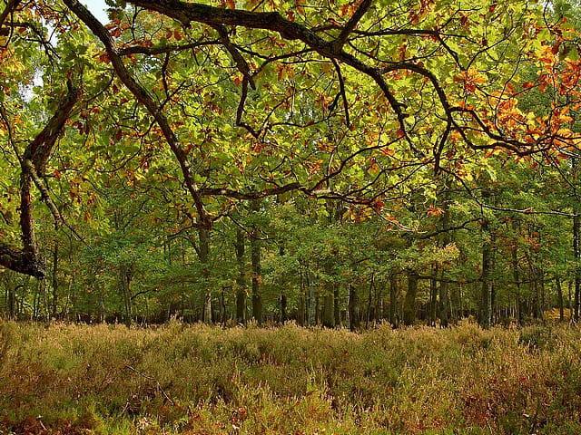 Chêne en automne sur lit de bruyère
