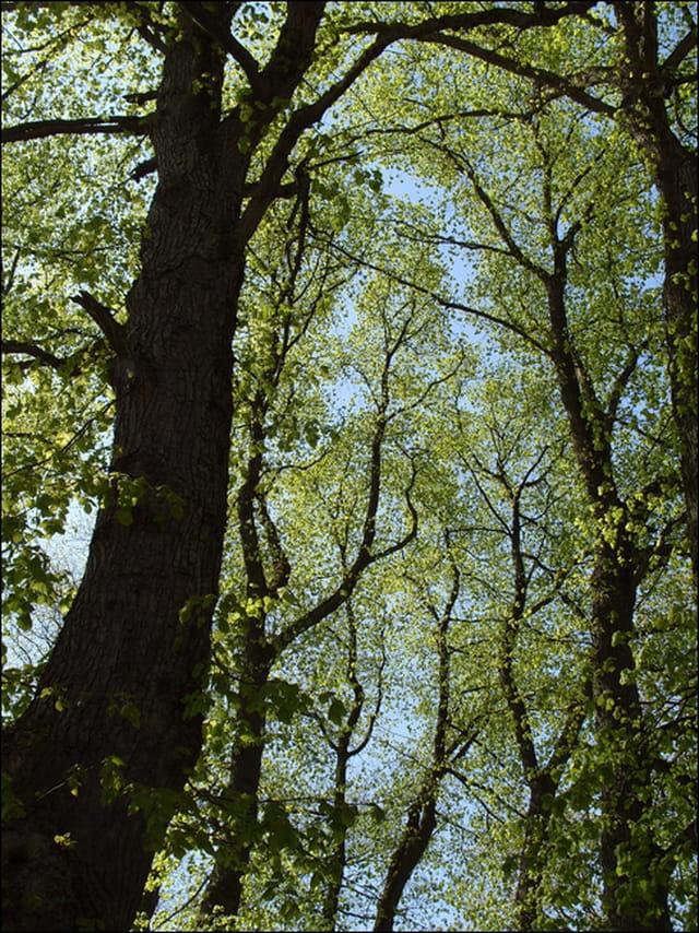 Chênes au printemps...