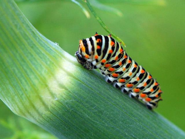 Chenille de papillon machaon