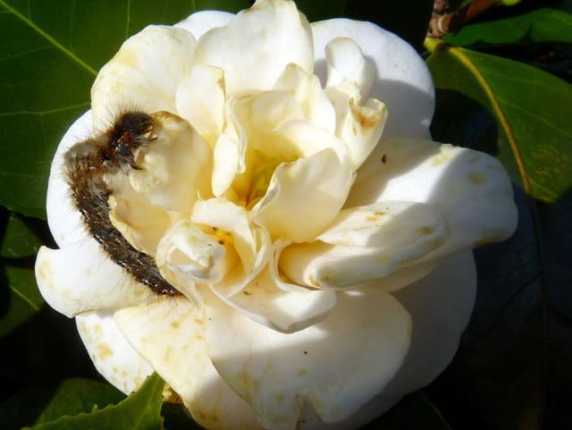 Chenille et fleur de camélia