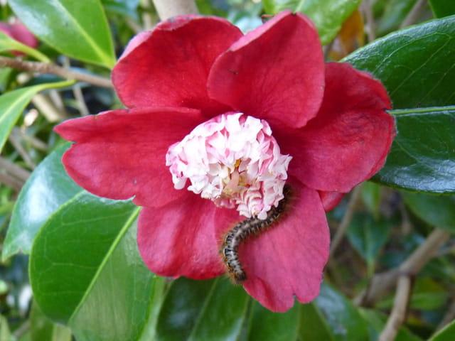 """Chenille et fleur de camélia""""Bokuhan"""""""
