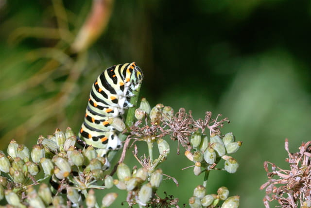 Chenilles Papilio machaon