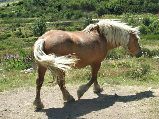 cheval de Lozére