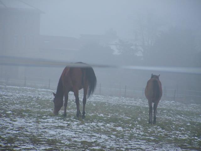 Chevaux dans brouillard