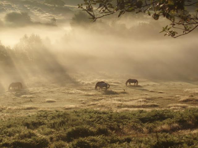 Chevaux dans la brume matinale