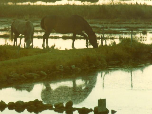 Chevaux dans les marais salants