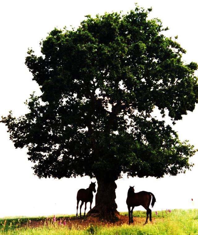 Chevaux sous un arbre.