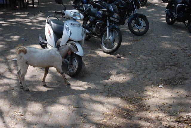 chèvre dans la ville