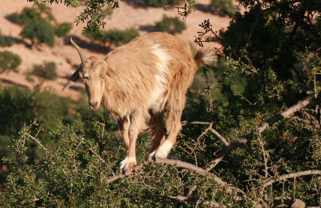 Chèvre dans un arbre