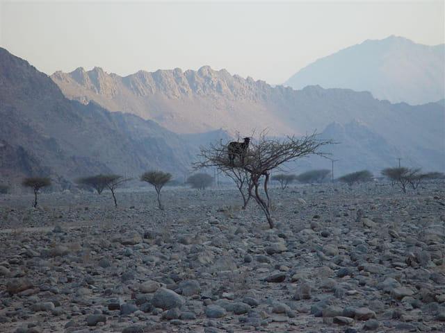 Chèvre  du désert..