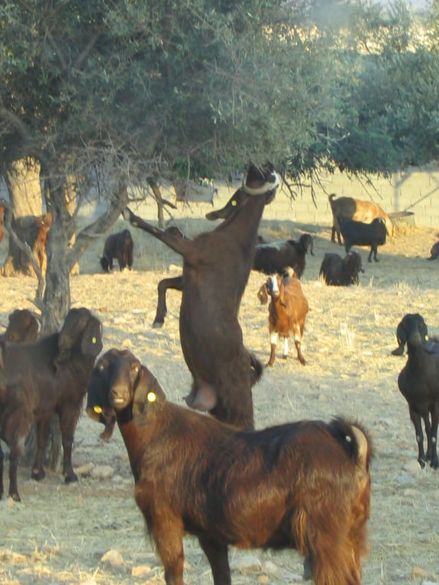 Chèvres à chypre