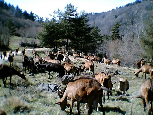 Chèvres à la garde